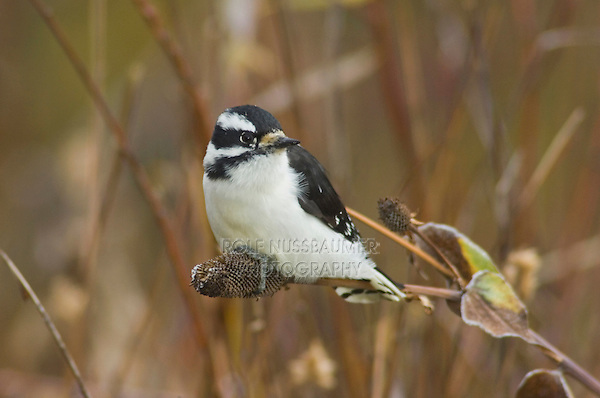 Downy Woodpecker, Picoides pubescens, female on flower seed stalk with fallcolors, Grand Teton NP,Wyoming, USA