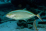 Caranx ruber, Bar jack, Florida Keys
