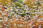 Flocks of pink footed geese (Anser brachyrhynchus) taking flight, near Udale Bay, Black Isle, Scotland, UK, October.