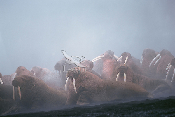 Herd of Walrus (Odobenus rosmarus) bulls--fog is caused by light rain falling on all the warm bodies.  Alaska.