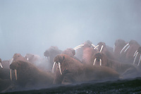 Herd of Walrus (Odobenus rosmarus) bulls--fog is caused by light rain falling on all the warm bodies.  Alaska.