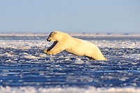 polar bear, Ursus maritimus, jumping into water from the pack ice of the frozen 1002 coastal plain of the Arctic National Wildlife Refuge, Alaska, polar bear, Ursus maritimus