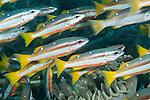 Fakfak Regency, West Papua, Indonesia; a detail view of a polarized school of Two-spot Snapper (Lutjanus biguttatus) fish