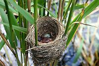 Kuckuck, frisch geschlüpftes Küken im Nest eines Teichrohrsänger, Brutparasitismus, Cuculus canorus, Cucullus canorus, cuckoo