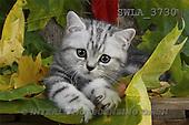 Carl, ANIMALS, photos(SWLA3730,#A#) Katzen, gatos