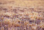 Burrowing Owl, Speotyto cunicularia, in grassland burrow, only eyes showing, at Bakersfield