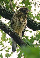 Red-shouldered hawk juvenile calling