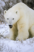 polar bear, Ursus maritimus, Churchill, Manitoba, Canada, Arctic, polar bear, Ursus maritimus