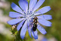 """Späte Großstirnschwebfliege, melanistisch, Melanismus, """"Schwarzfärbung"""", Späte Großstirn-Schwebfliege, Weiße Dickkopf-Schwebfliege, Blasenköpfige Schwebfliege, Halbmondschwebfliege, Halbmond-Schwebfliege, Johannisbeer-Schwebfliege, Weibchen, Blütenbesuch an Wegwarte, Scaeva pyrastri, pied hoverfly, cabbage aphid hover fly, female, Melanism, melanistic, Le Syrphe pyrastre"""