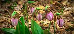 Great Smoky Mountains National Park, Tennessee:<br /> Pink lady slippers (Cypripedium acaule) blossoms