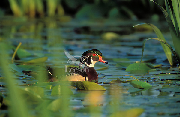 Wood Duck drake in yellow iris pond.. British Columbia, Canada..(Aix sponsa).