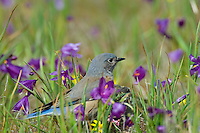 Female Western Bluebird (Sialia mexicana). The wildflowers are called Grass Widows or Blue-Eyed Grass and are one of the earliest wildflowers found in the Columbia River Gorge National Scenic Area. One often finds hardy individuals in early February, but the peak bloom for these flowers usually occurs in early March, which coincides with the return of these beautiful birds to this area