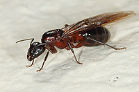 Braunschwarze Rossameise, Riesenameise, Holzzerstörende Rossameise, Ross-Ameise, Riesen-Ameise, Roßameise, Camponotus ligniperdus, Camponotus ligniperda, carpenter ant