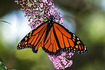 Monarch butterfly nectaring on butterfly bush flowers with wings open.