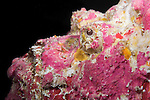 Great Barrier Reef, Australia; a portrait of a pink colored reef stonefish
