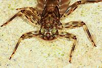 Eintagsfliege, Zweischwänziger Aderhaft, Larve, Nymphe, Epeorus sylvicola, mayfly, larva, larvae