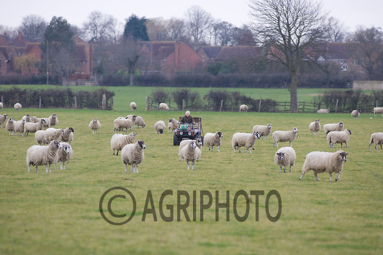 In lamb Mule Ewe's out at grass..Picture by Tim Scrivener date taken 28th Feb 2012.mobile 07850 303986 e-mail tim@agriphoto.com.....covering agriculture in The United Kingdom....