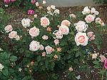 Tamora Rose, Rosa hybrid