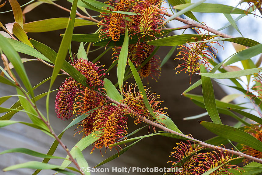 Hakea arachaeoides, flowering shrub;  Australian Native Plant Nursery, Ventura, California