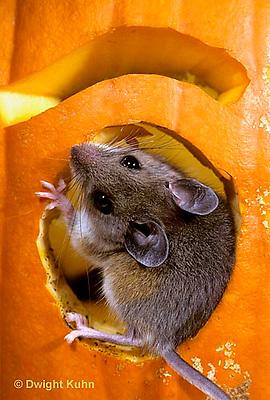 MU59-018z   White-Footed Mouse - on Jack-o-lantern -  Peromyscus leucopus