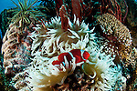 Spinecheek anemonefish (Premnas biaculeatus) in its bleaching anemone home