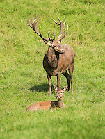 Red Deer hind and stag at the Bowland Wild Boar Park, Chipping, Preston, Lancashire.