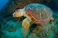 Loggerhead Sea Turtle (Caretta caretta) in Juno Beach, FL.