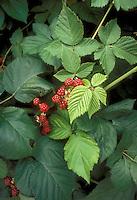 Raspberries red berry fruit growing on plant in garden