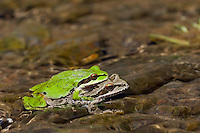 Pacific tree frogs (Pseudacris regilla), also known as the Pacific chorus frogs, mating.  April along John Day River Canyon, Oregon.