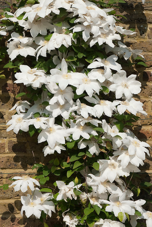 Clematis 'Wada's Primrose' vine against brick wall