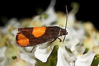 Bärenklauwickler, Bärenklau-Wickler, Pammene aurana, Pyralis aurana, Laspeyresia aurana, Wickler, Tortricidae, tortrix moths