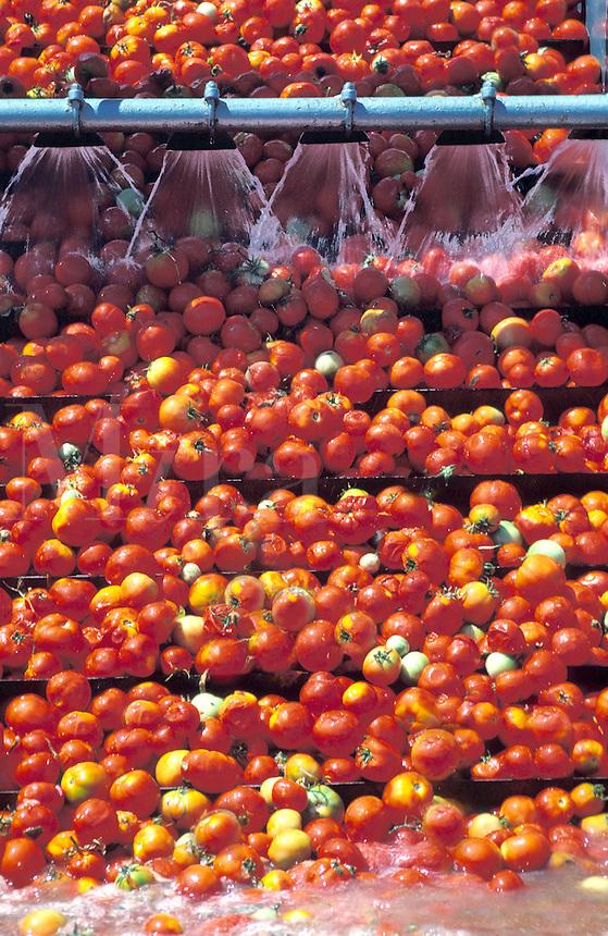 tomato processing California