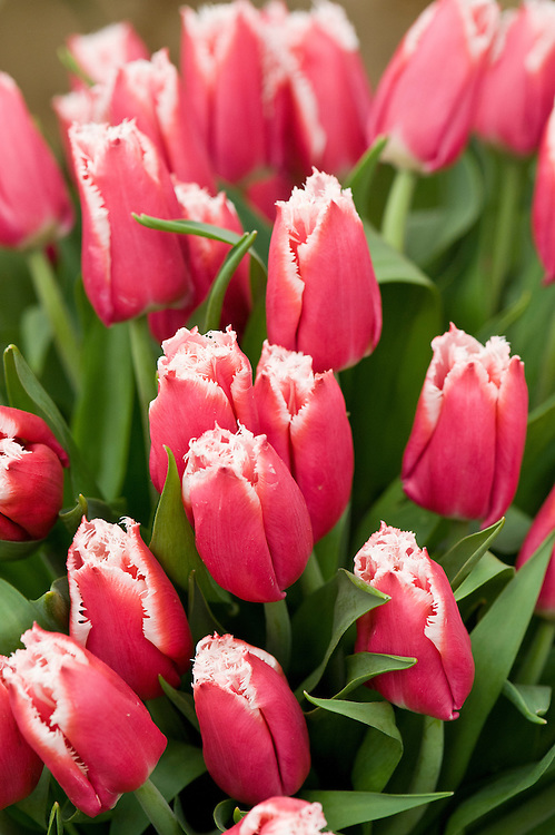 Tulip 'Canasta' (Fringed Group), mid May. The scarlet petals fade to a lighter pink, almost white hue at the fringed edges.
