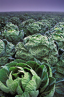 Field cabbagecrops planted in rows in fog, near Pescadero, San Mateo County, California Coast.
