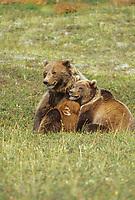 Grizzly bear sow nurses cub, Denali National Park, Alaska
