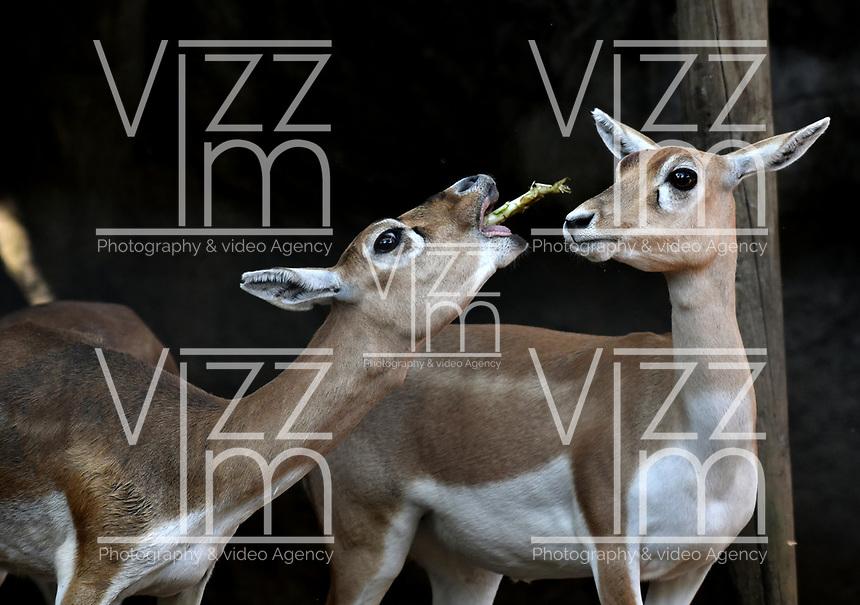 CALI - COLOMBIA - 27 - 09 - 2017: Antilope Negro (Antilope Cervicapra), especie de mono en el Zoologico de Cali, en el Departamento del Valle del Cauca.  / Black Antilope (Antilope Cervicapra), an antelope species in the Cali Zoo, in the Department of Valle del Cauca. / Photo: VizzorImage / Luis Ramirez / Staff.