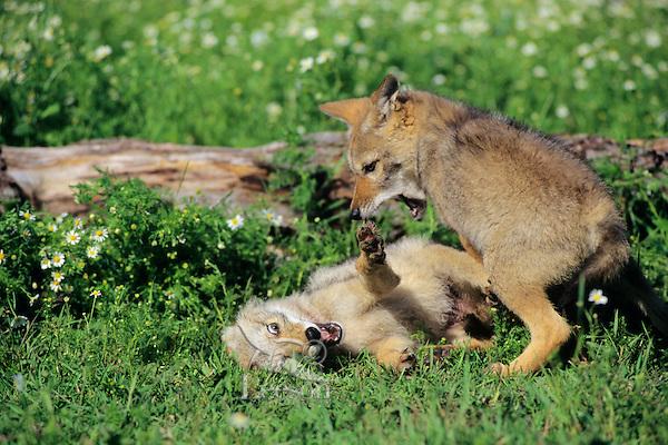 Coyote (Canis latrans) pups at play.