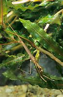 Stabwanze, Wassernadel, Ranatra linearis, Needle bug, water stick insect, La Ranatre linéaire, Wasserinsekten