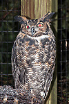 Great Horned Owl, captive, vertical