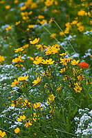 Coreopsis in Connecticut meadow garden <br />