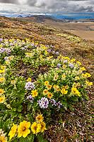 Spring blooming glacier aven flowers on Puvakrat mountain, National Petroleum Reserve, Alaska.