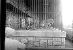 Zoo, Kansas City, Missouri. One of the few negatives in the collection not taken in Lincoln, Nebraska.<br /> <br /> Photographs taken on black and white glass negatives by African American photographer(s) John Johnson and Earl McWilliams from 1910 to 1925 in Lincoln, Nebraska. Douglas Keister has 280 5x7 glass negatives taken by these photographers. Larger scans available on request