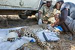 Cheetah (Acinonyx jubatus) veterinarian, Kambwiri Banda, and park scout, Charles Kalatambala, collaring twenty-one month old sub-adult female, Kafue National Park, Zambia