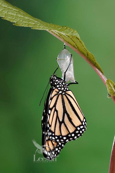 MONARCH BUTTERFLY life cycle..Drying Wings on Joe-Pye Weed  leaf. .North America. Danaus plexippus.