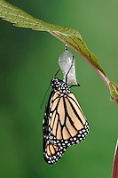 MONARCH BUTTERFLY life cycle..Drying Wings on Joe-Pye Weed  leaf. .North America. Danaus plexippus.