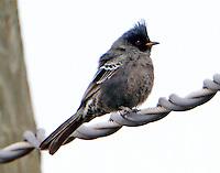 Juvenile male phainopepla