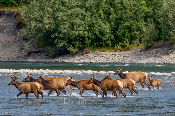 Roosevelt Elk herd (Cervus canadensis roosevelti), sometimes called Olympic Elk, fording river.  Olympic National Park, WA.  June.