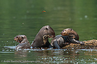 Giant Otters (Pteronura brasiliensis), mother with two cubs at the edge of an oxbow lake, lowland tropical rainforest, Manu National Park, Madre de Dios, Peru.