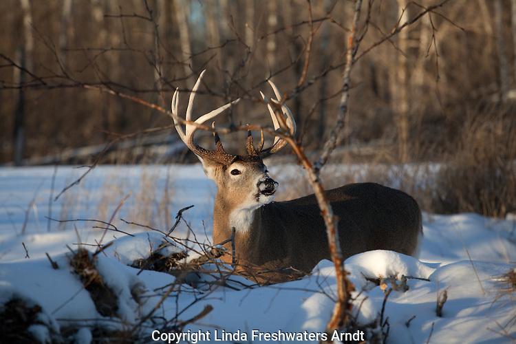 White-tailed buck - flehmen behavior