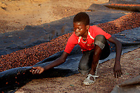 A child collects the loose cocoa seeds that have fallen from the tarpaulin on which they are drying at the Georgekro cocoa farmers' camp.